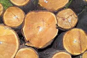 """Offensichtlich veranlassen die steigenden Preise für Heizöl und Erdgas viele dazu, sich, wie in früheren Tagen, ihr Brennholz illegal im Wald zu """"besorgen""""! Foto: Peter Hoffmann"""
