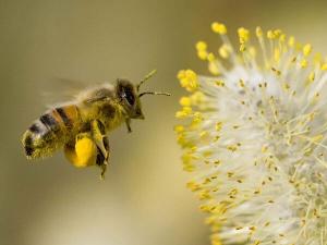biene-pollen-umweltschutz